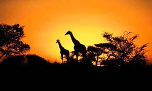Giraffe silhouetted against a sunset sky