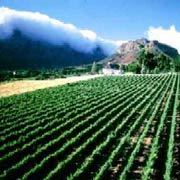Vineyards in Franschhoek, Western Cape