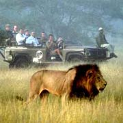 Observing lion on a game drive